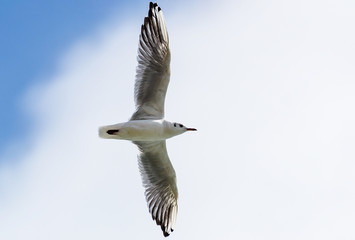 Single Gull Flying on Sky with Wide Open Wings