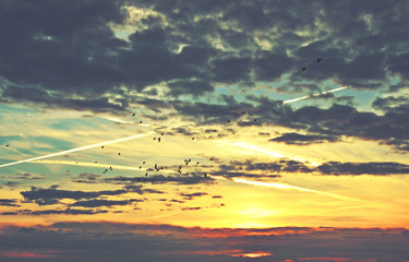 Flock of birds silhouetted against a cloudscape and contrail sky at sunrise.