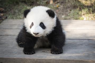 Zelfklevend Fotobehang Panda Panda