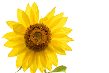 sunflower flower closeup isolated