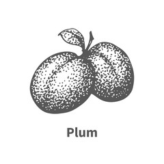 Vector illustration hand-drawn plum