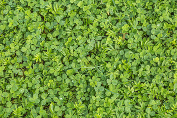 Фон из листьев клевера