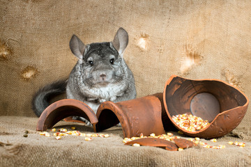 chinchillas in the barn on the background of a broken jug with corn grains. A series of images.