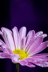 Daisy Flower of Nature Earth