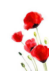 watercolor poppies on a white background. wildflowers. botanical illustration.