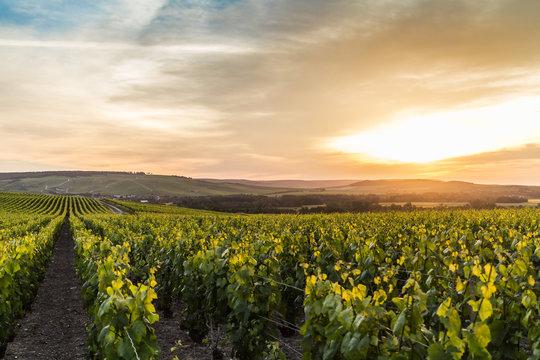 Grape fields in Epernay, France