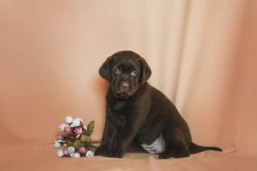 Brown labrador retriever puppy sitting with flowers