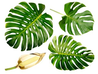 Green Monstera leaf group isolated on white background with fruit