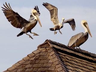 Pelicans in flight landing on weathered fisherman's hut