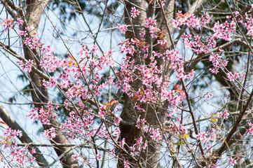 Pink Sakura flower blooming in Thailand, subject is blurred