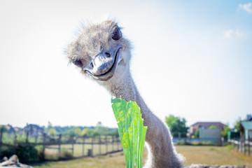 Ostrich bird eats green leaf on ostrich farm countryside