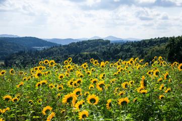 Sonnenblumen im steirischen Vulkanland