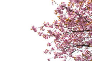 beautiful of spring Cherry blossom or Kikuzakura in Japan