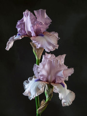 Studio shot of violet color Iris flower on a dark background.