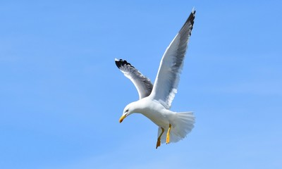 WHITE SEAGULL FLYING IN BLUE SKY PREPARING TO DIVE ON TARGET