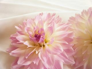 薄桃色のダリアの花(クローズアップ)