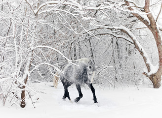 Race horse running in new fallen snow