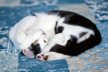 Playful domestic cat laying on side