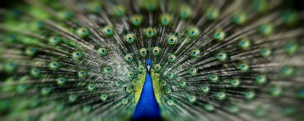 Papiers peints Paon Portrait of beautiful peacock with feathers out