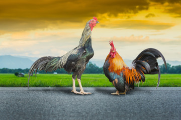close up portrait of rooster and bantam chickens