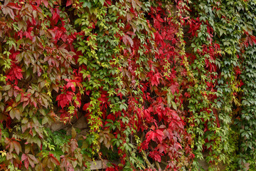 Closeup of colorful autumn red lush foliage parthenocissus as a natural background. A 