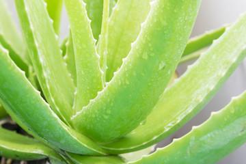 Closeup of fresh green leaves of aloe vera.