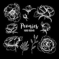 Hand drawn Vector illustrations - set of peonies (flowers, leaves