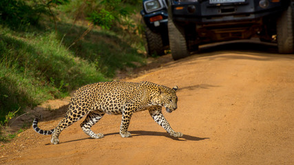 Leopard crossing the road, the cars stopped at that time. Beautiful big spotted cat close-up in the wild.
