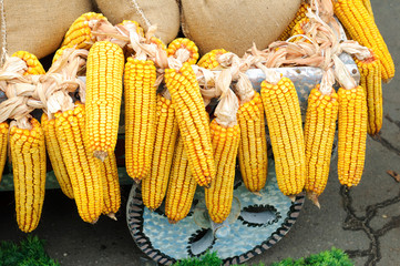 Corncob with full bags nearby