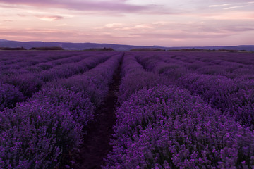 Stock Photo: Lavender fields. Beautiful image of lavender field. Summer sunset landscape,...