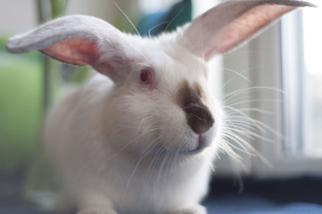 White albino Californian rabbit