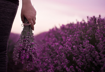Gathering a bouquet of lavender. Girl hand holding a bouquet of fresh lavender in lavender field. Sun, sun haze, glare. Purple tinting