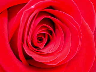 Closeup red rose 1