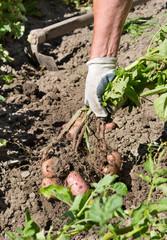 Harvesting potato in garden