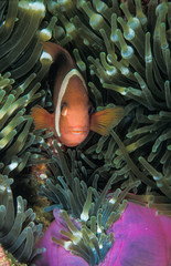 Fototapete - A small light orange clown fish safely nestled into its anemone green castle