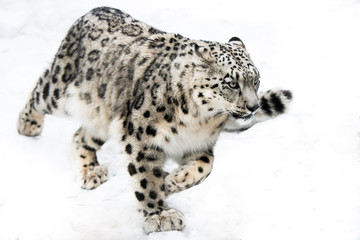 Snow Leopard on the Run Wall mural