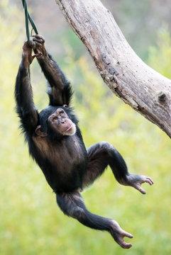 Swinging Chimp VI