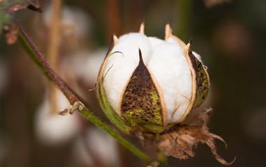Cotton Boll in a Louisiana Field