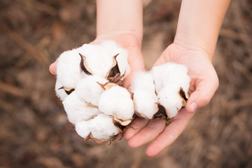 Cotton Bolls in Boy's Hands in a Louisiana Field