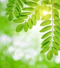 Fresh green spring leaves of Acacia or Black Locust on natural blurred background.