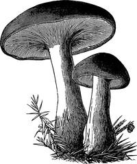Vintage image mushrooms