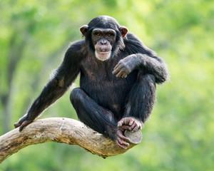 Papiers peints Singe Chimpanzee XXVI