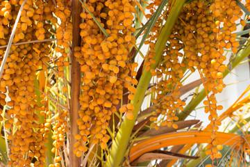 Closeup of palm tree with orange berries (dates)