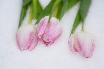 Aluminium Prints Tulip Tulpen in sneeuw