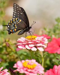 Beautiful Eastern Black Swallowtail butterfly in garden
