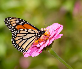 Danaus plexippus, Monarch butterfly in summer garden