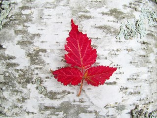 Red Leaves on Birch Bark - red dewberry leaves on birch bark background.