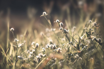 Wall Mural - Vintage nature background. Close up shot of wild flower in field