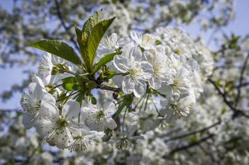 Obraz Kwitnące drzewo wiśni, biały kwiat wiśni - fototapety do salonu