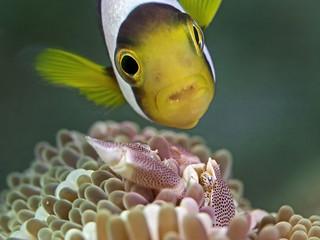 Anemone Fish meets Porcelain Crab